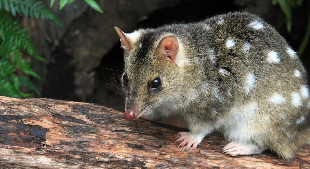 animal-eastern-quoll