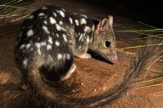 northern-quoll-2