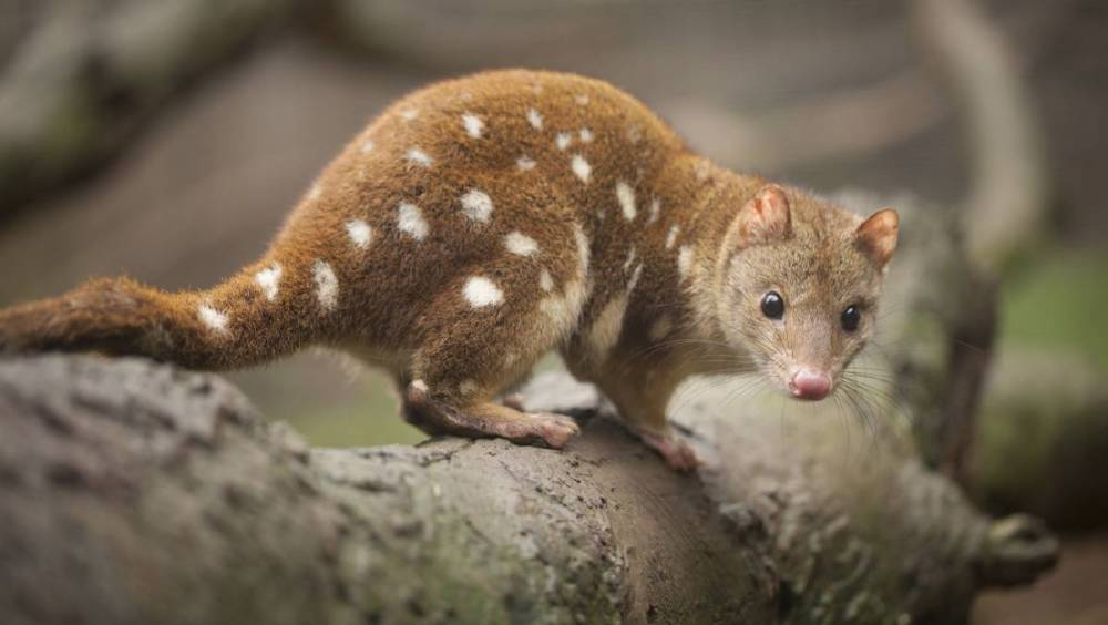 tiger-quoll-animal-photos