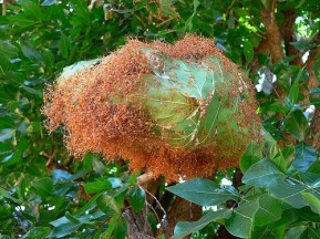 Image result for weaver ant