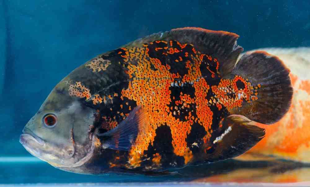 the-complete-oscar-fish-care-guide-types-diet-tankmates-banner