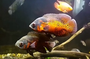 tiger-oscar-fish
