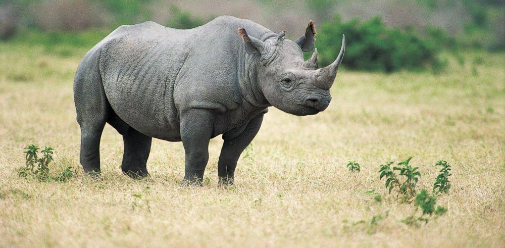 Diceros Bicornis Longipes - West African Black Rhino (Extinct)
